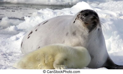 Newborn Seal Pup drink milk from mother's nipple.