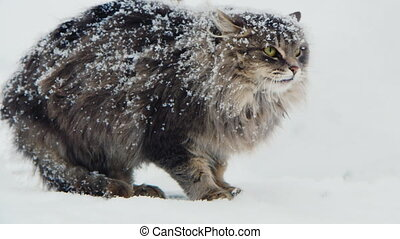 covered with snow cat hissing aggressive - On the big cat...