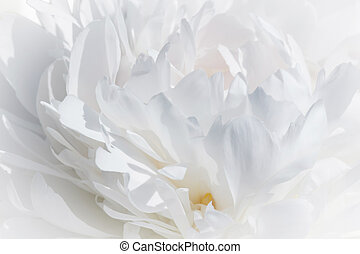 close up of white peony