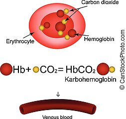 Karbogemoglobin Hemoglobin carries carbon dioxide...