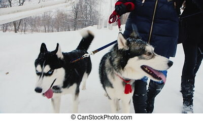 Two dogs husky at winter walk