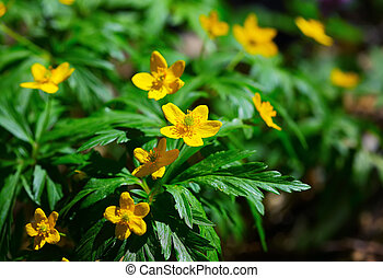 Blooming Winter Aconite - Eranthis hyemalis Blurred...