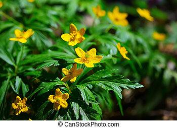 Blooming Winter Aconite - Eranthis hyemalis. Blurred...