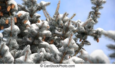 Spruce with cones in snow-covered forest - Spruce with cones...