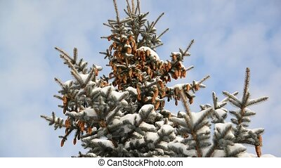Spruce with cones in  snow-covered forest