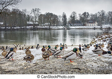 Ducks at river Danube in winter - Image of ducks at the...