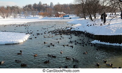 winter ducks in a pond