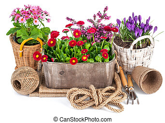 Spring flowers in wooden bucket with garden tools. Isolated...