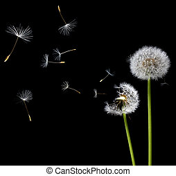 dandelions in the wind - silhouettes of dandelions in the...