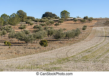 Stubble field and olive groves in an agricultural landscape...