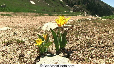 Yellow Tulip - Yellow tulip flowers near the mountain road