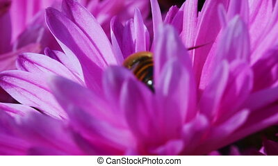 Fly on Flower - Flower fly on a flower pink chrysanthemum