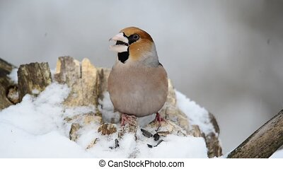 The bird eats seeds in winter Grosbeak, Coccothraustes...