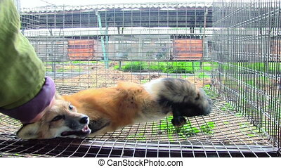 Tamed The Little Fox In The Cage - female hand caresses the...