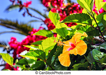 Blooming hibiscus flowers in spring time. Madeira island -...