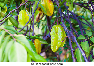 Star fruit growing on a farm on Big Island, Hawaii