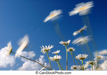 Windy day - Looking up trough daisies into the sun