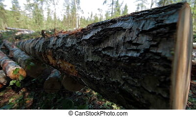 Felled large tree trunk in the forest