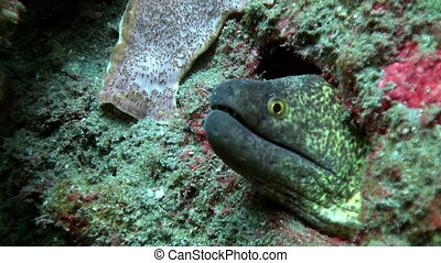 Green moray on the seabed in the wreck. Amazing, beautiful...