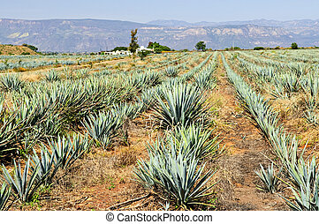 Agave cactus field in Mexico - Agave cactus field near...