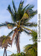 coconut palm tree - tall coconut palm tree