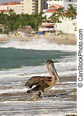 Pelican on beach in Mexico - Pelican on Puerto Vallarta...