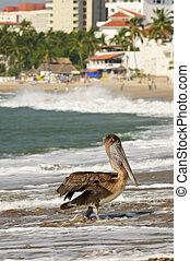 Pelican on beach in Mexico - Pelican on Puerto Vallarta...