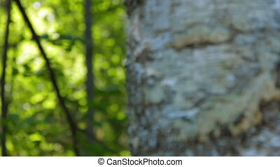 Rack focus from a tree to the tall forest trees in...