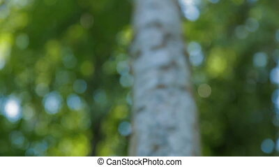 Shooting from base of tree focused up into branche -...