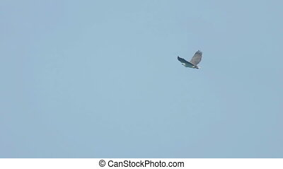White-bellied sea-eagle (Haliaeetus leucogaster) flying over...