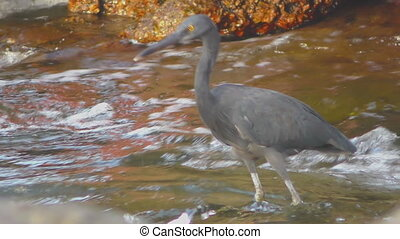 Pacific reef heron hunts for fish - Pacific reef heron...