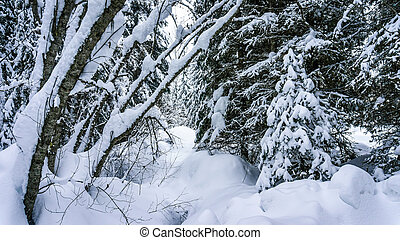 Snow Covered Trees in the Forest - Snow covered trees in the...