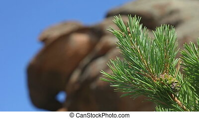 Pine branch with cone close-up, rack focus, Bayan Tau...