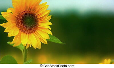 sunflower - Close up shot of sunflower in breeze Rack focus...