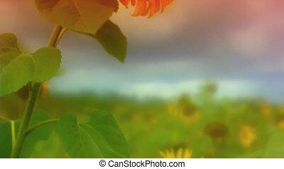 sunflower - Close up shot of sunflower in breeze. Rack...