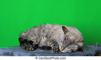 Wet cat lies and freezing. - Wet cat lies and freezing on a...