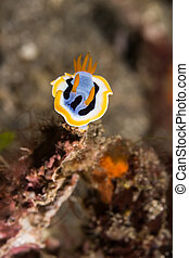 Chromodoris annae Nudibranch Sea Slug - Underwater picture...