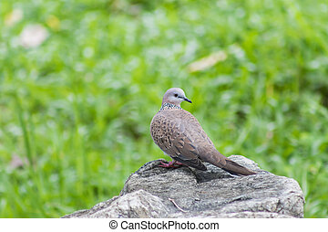 Cape turtle dove Streptopelia capicola perched on a rock