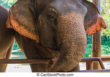 Asian Elephant in Elephant Hospital in Lampang,Thailand