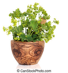 Ladys Mantle Herb - Ladys mantle herb with flowers in an...