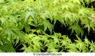 Wet maple leaves - Green maple leaves(Acer palmatum var....