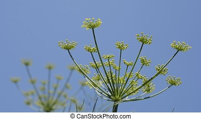 Fennel flowers and buds under blue sky