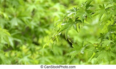 Wet maple leaves - Fresh green maple leaves(Acer palmatum...