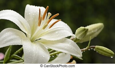 White asian lily flower and bud wet with rain