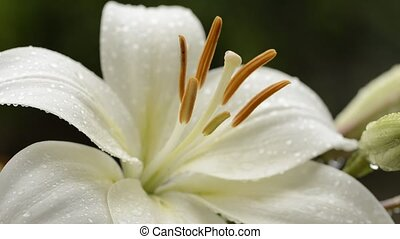 White asian lily - Close up white asian lily flower wet with...