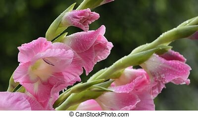 Pink gladiolus flowers - Bright pink gladiolus flowers and...