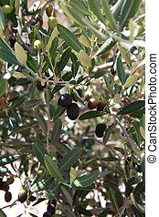 Black and Greeen Olives on the tree