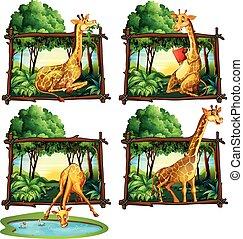 Four frames of giraffes in jungle
