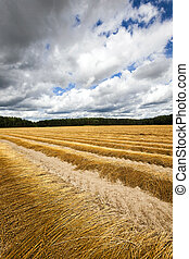 Agricultural field , flax - Agricultural field on which flax...
