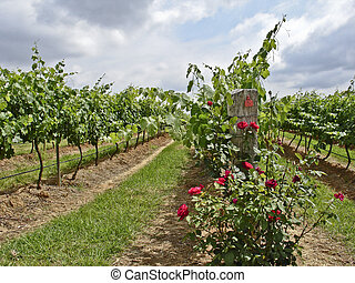 Roses and Vines - Rows of vineyards and red roses in the...